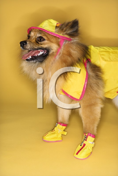 Royalty Free Photo of a Brown Pomeranian Dog Wearing Rain Gear