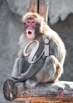Angry male Japanese macaque looking aggressive