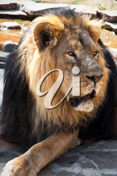 King of animals - African male lion in zoo
