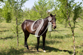 horse tied to a tree