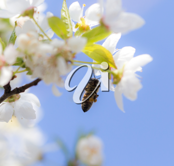 bee on flowers tree. macro