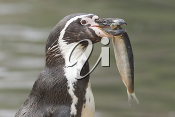Penguin is eating a large fish, isolated