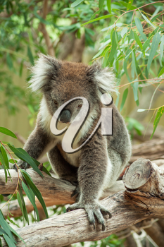 native Australian Koala bear eating eucalyptus leaves