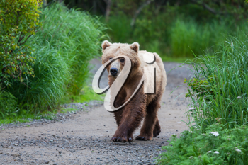Royalty Free Photo of a Brown Bear in Alaska