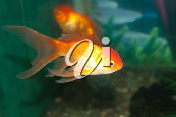 Gold oranda goldfish in an aquarium