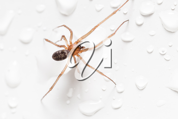 Spider on a white background with water drops