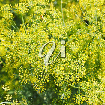 above view of yellow flowers on blooming dill in garden in summer